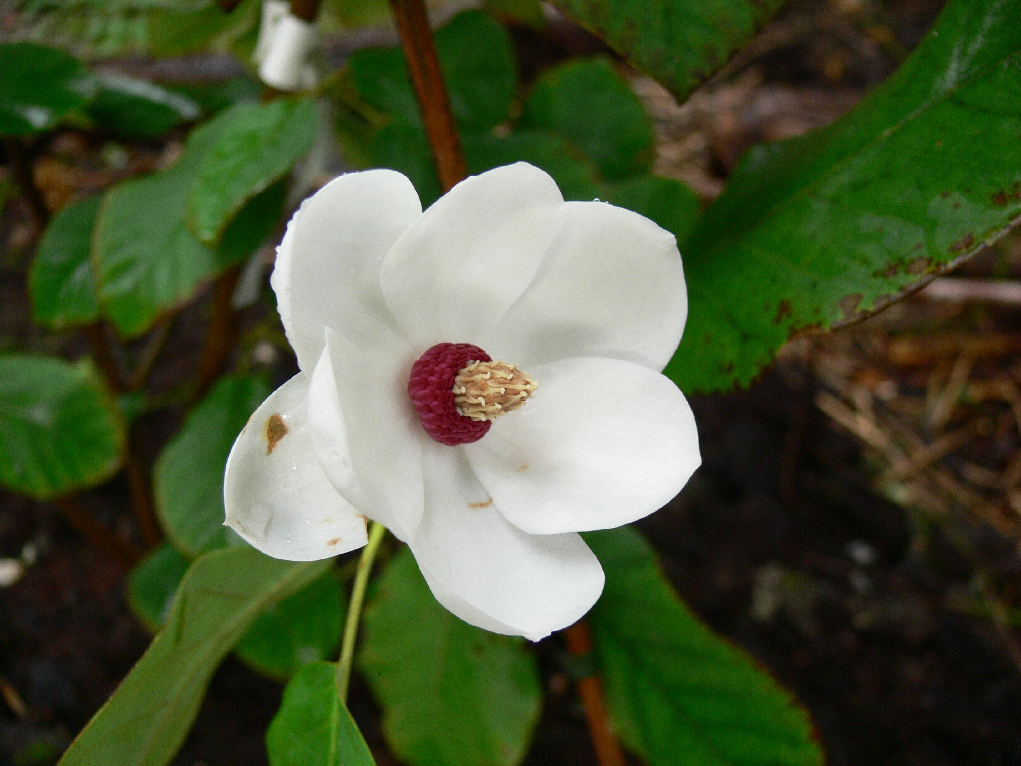 magnolia sieboldii 39 colossus 39. Black Bedroom Furniture Sets. Home Design Ideas