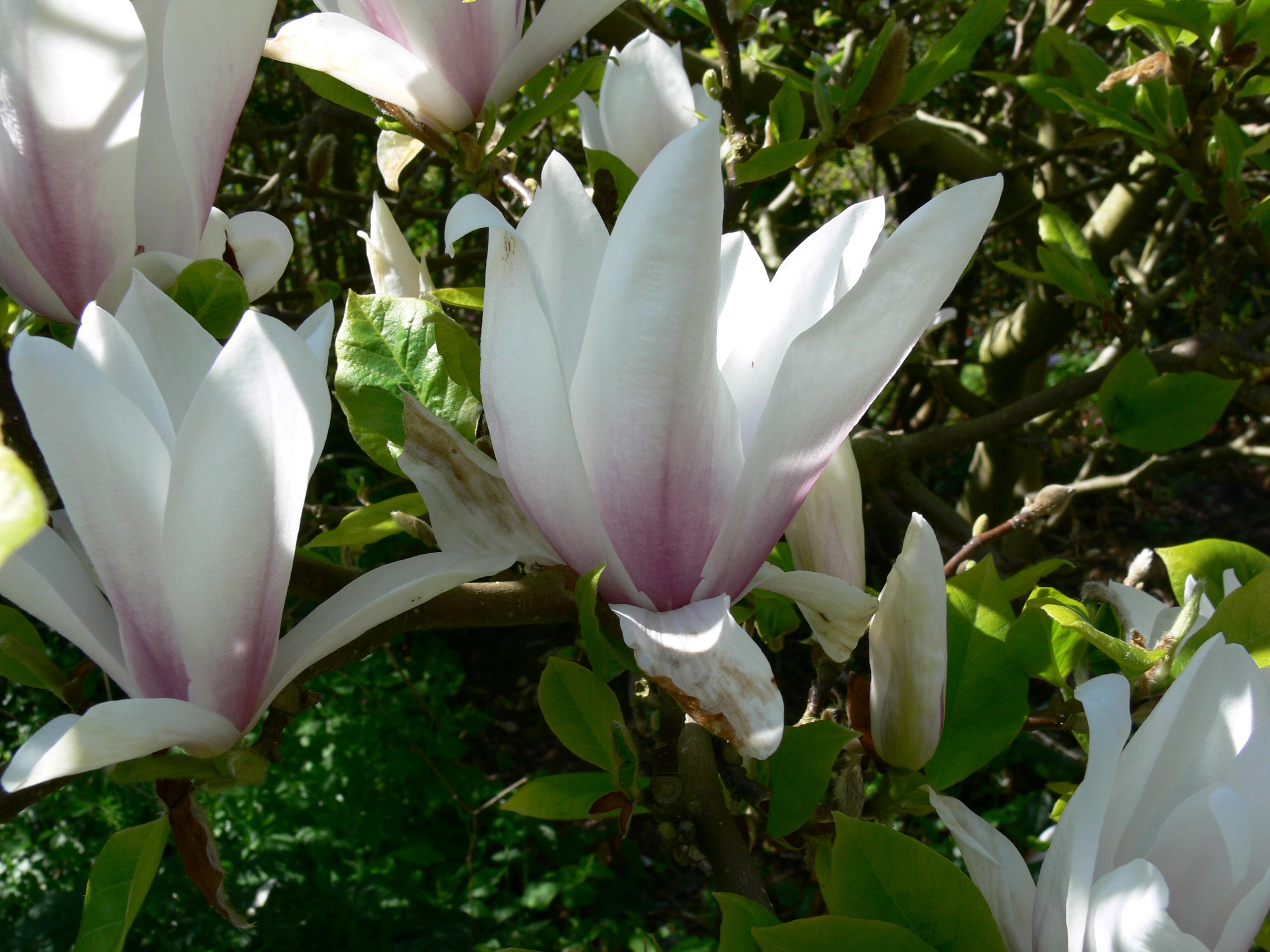 magnolia x soulangeana 2. Black Bedroom Furniture Sets. Home Design Ideas