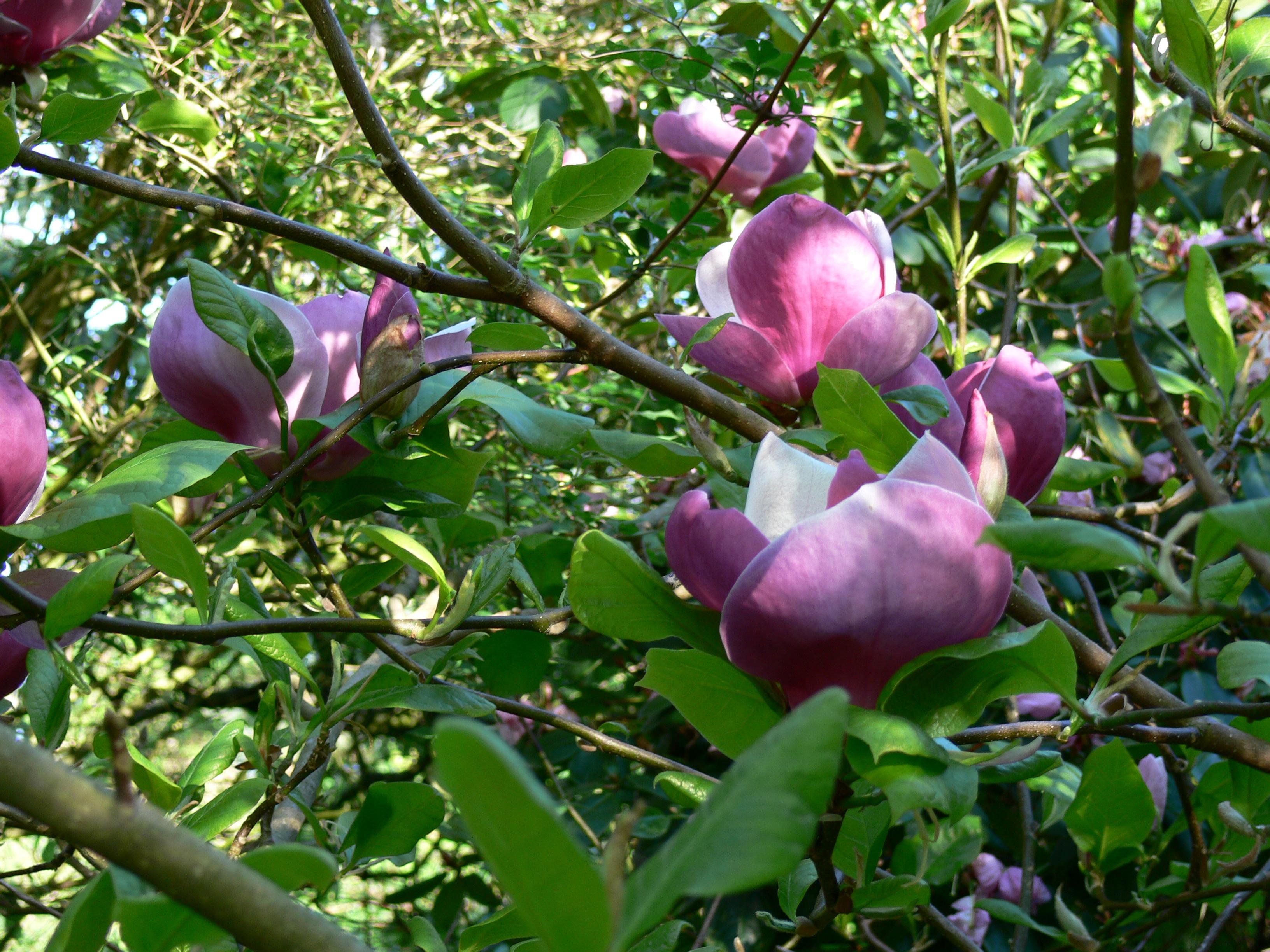 magnolia x soulangeana 39 lennei 39. Black Bedroom Furniture Sets. Home Design Ideas