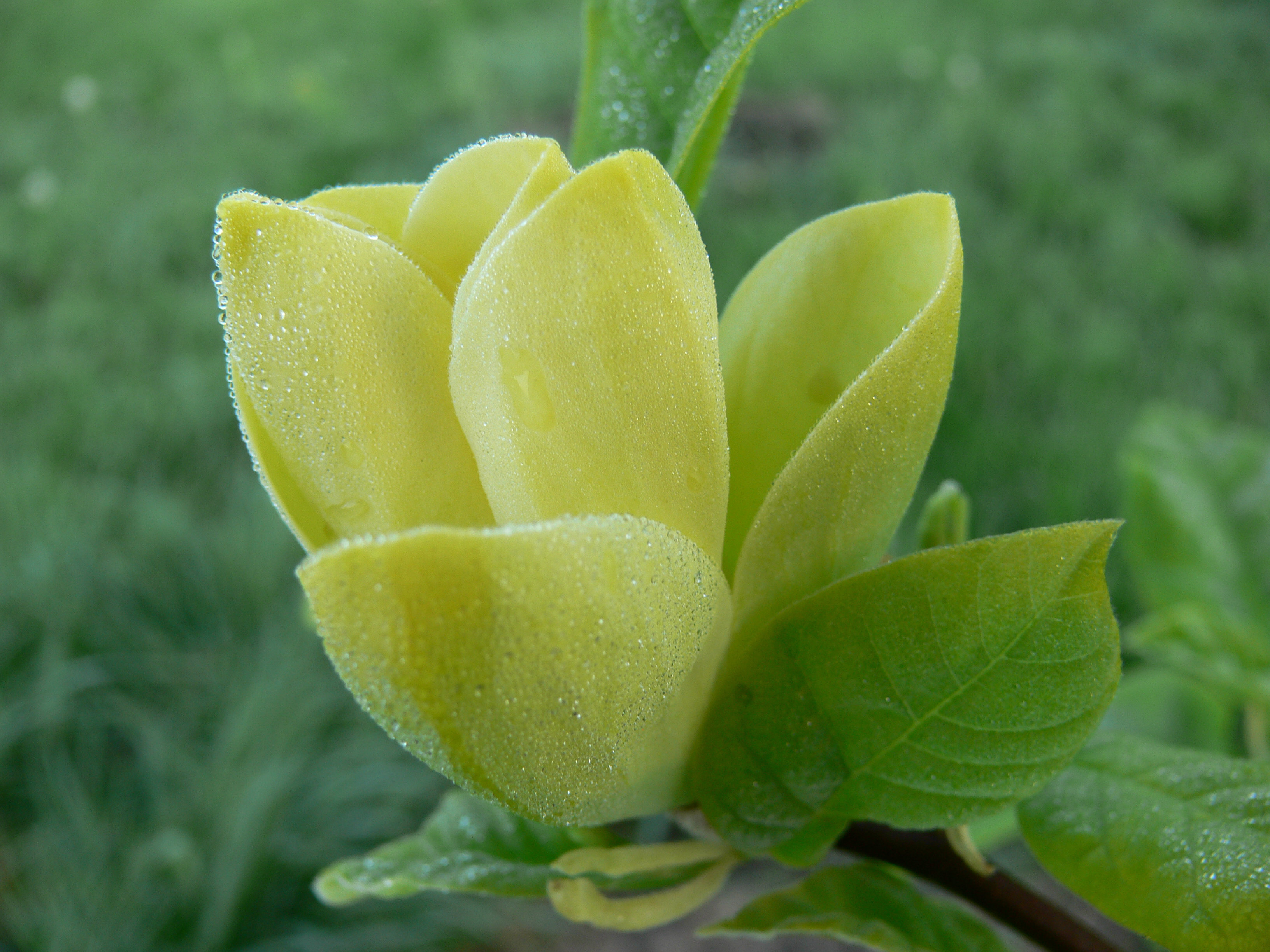 yellow magnolia wallpaper - photo #36