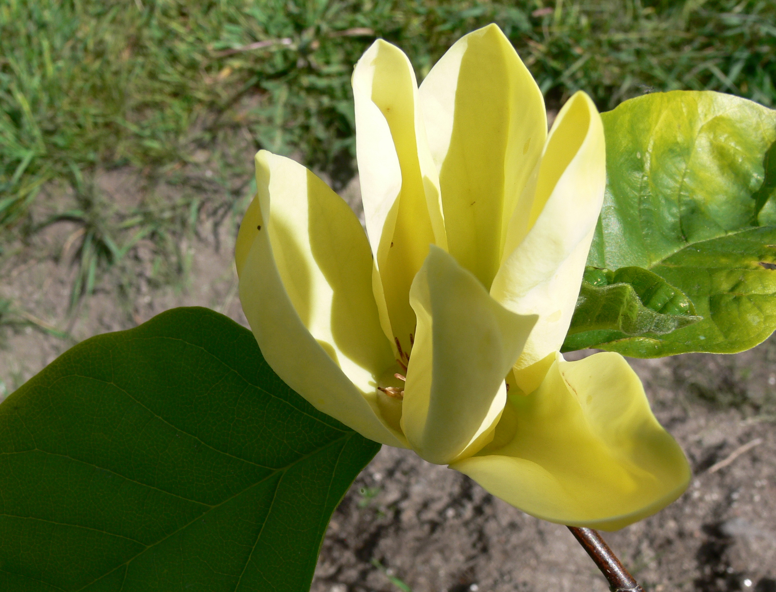 yellow magnolia wallpaper - photo #8