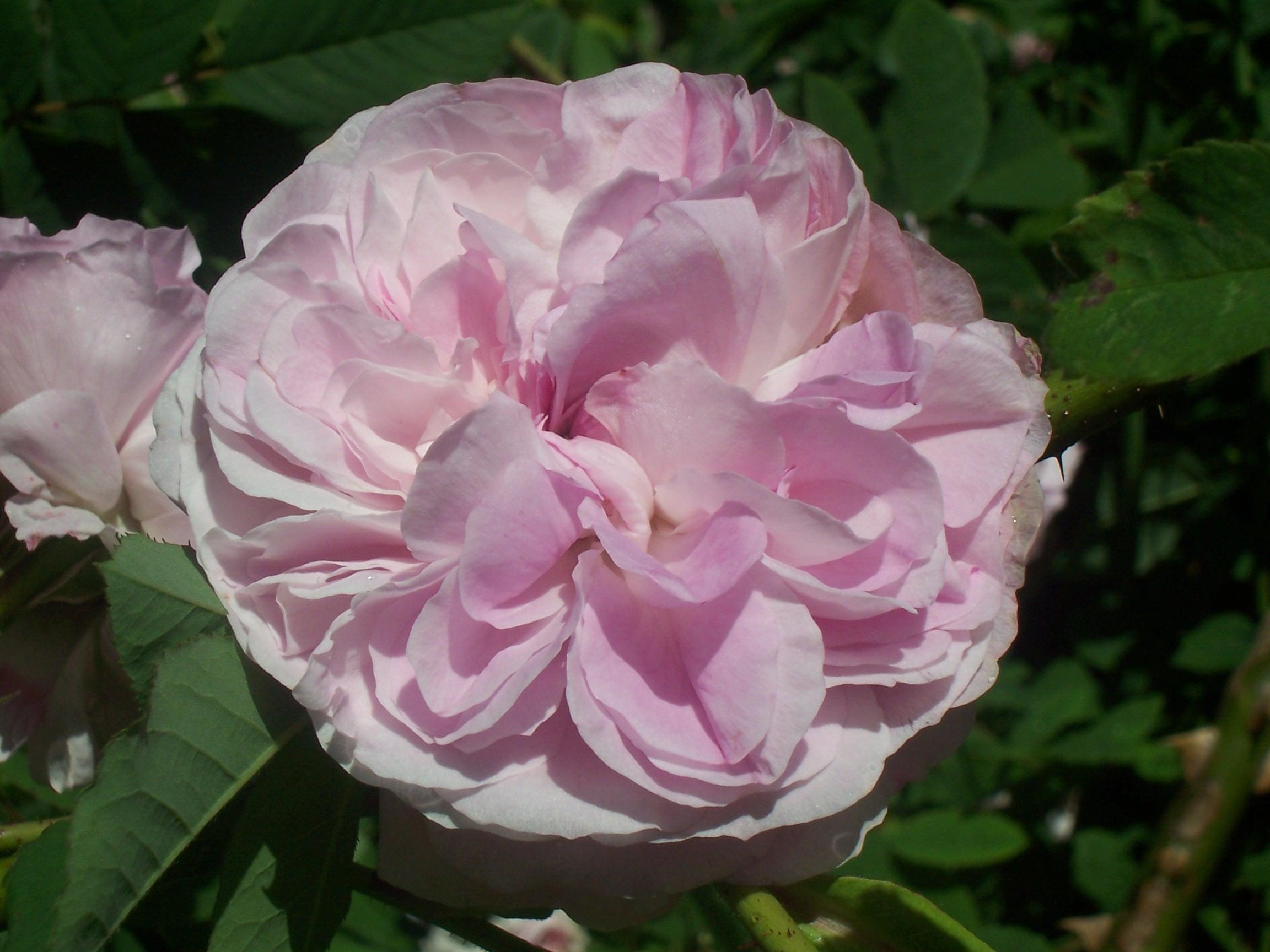 Blush damask