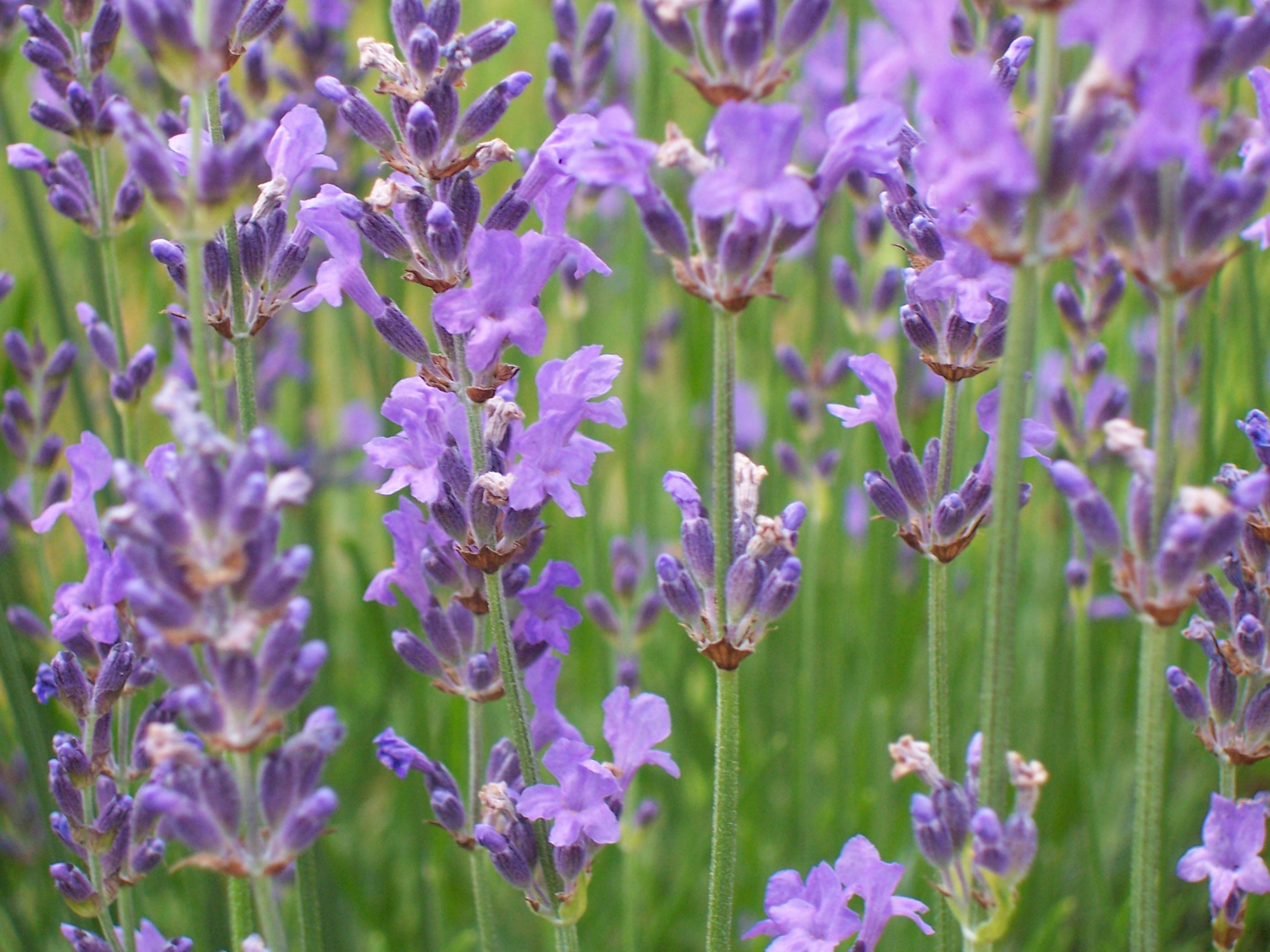 lavandula angustifolia 39 hidcote blue 39 lavendel. Black Bedroom Furniture Sets. Home Design Ideas