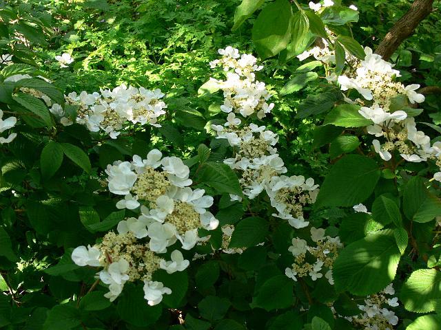 Viburnum Plicatum Mariesii Japansk Snebolle
