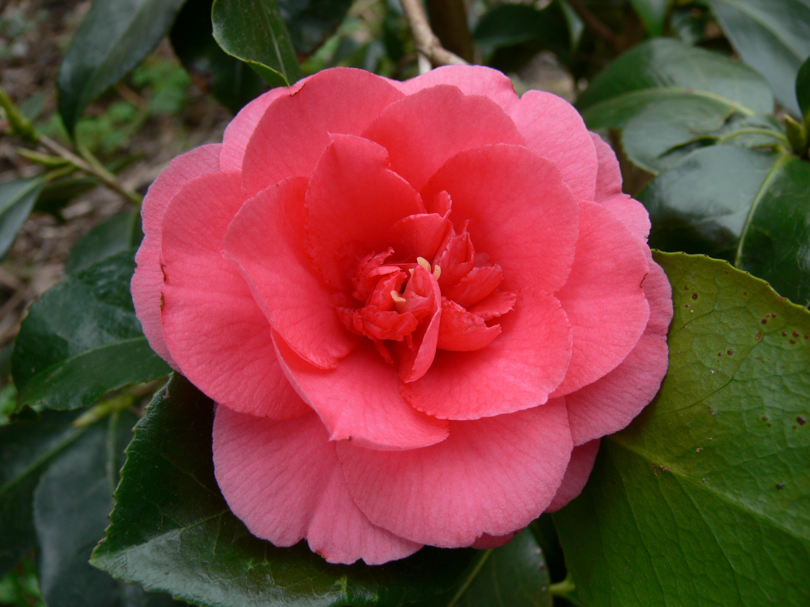 camellia japonica kamelie. Black Bedroom Furniture Sets. Home Design Ideas
