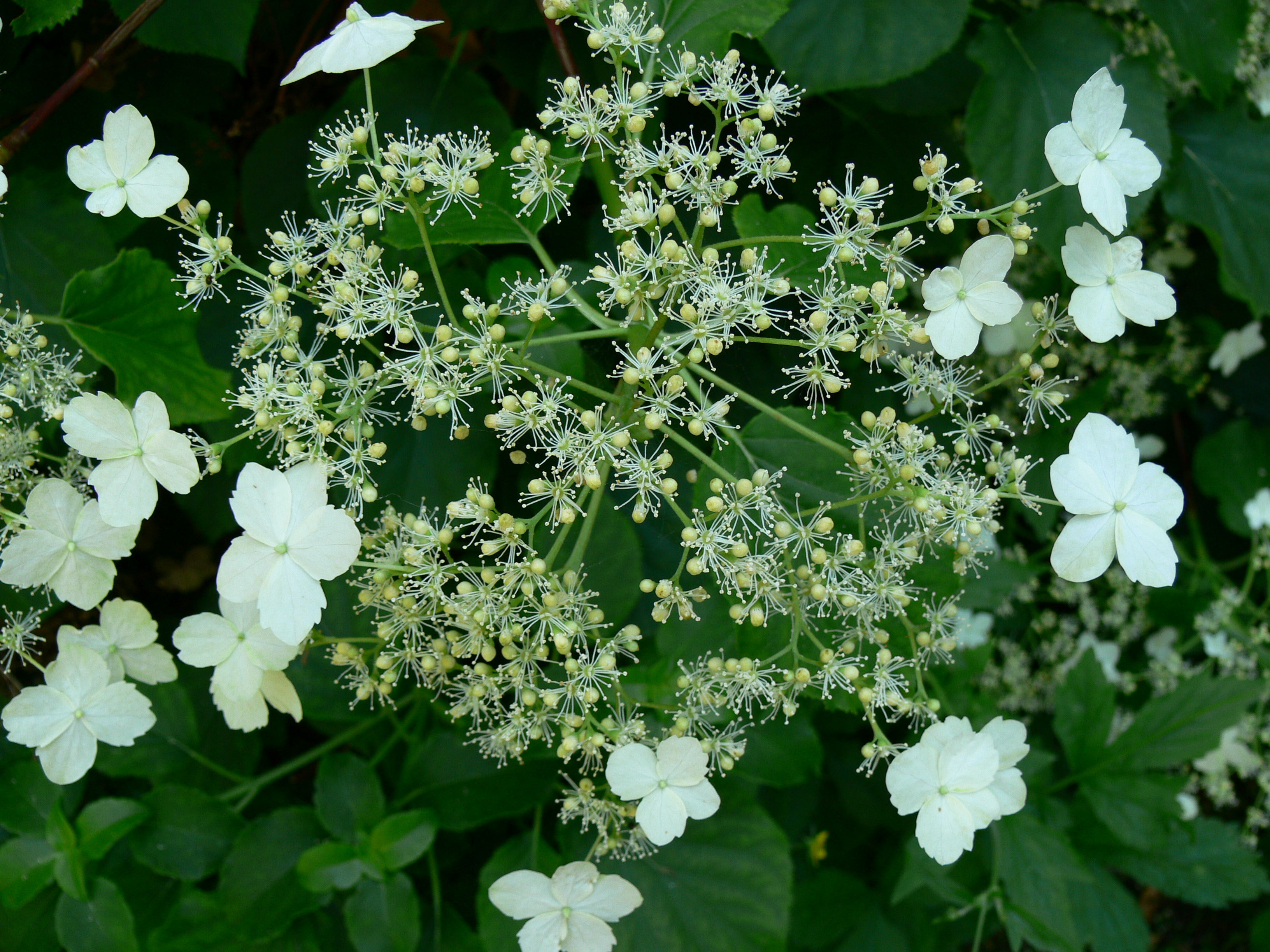 hydrangea anomala ssp petiolaris klatrehortensie. Black Bedroom Furniture Sets. Home Design Ideas
