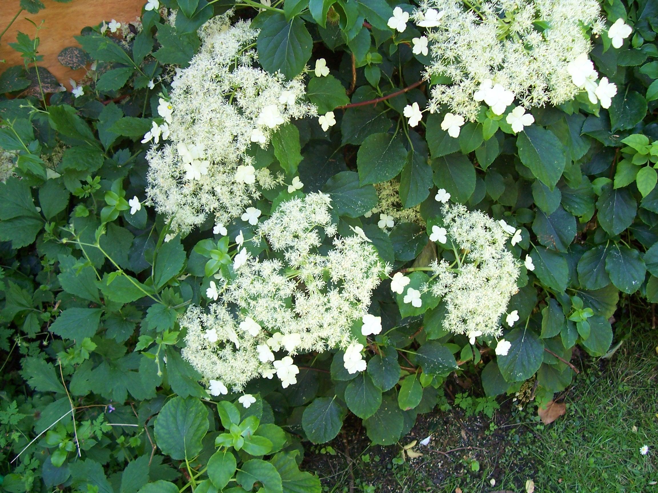 Hydrangea anomala ssp petiolaris klatrehortensie - Hydrangea petiolaris ...