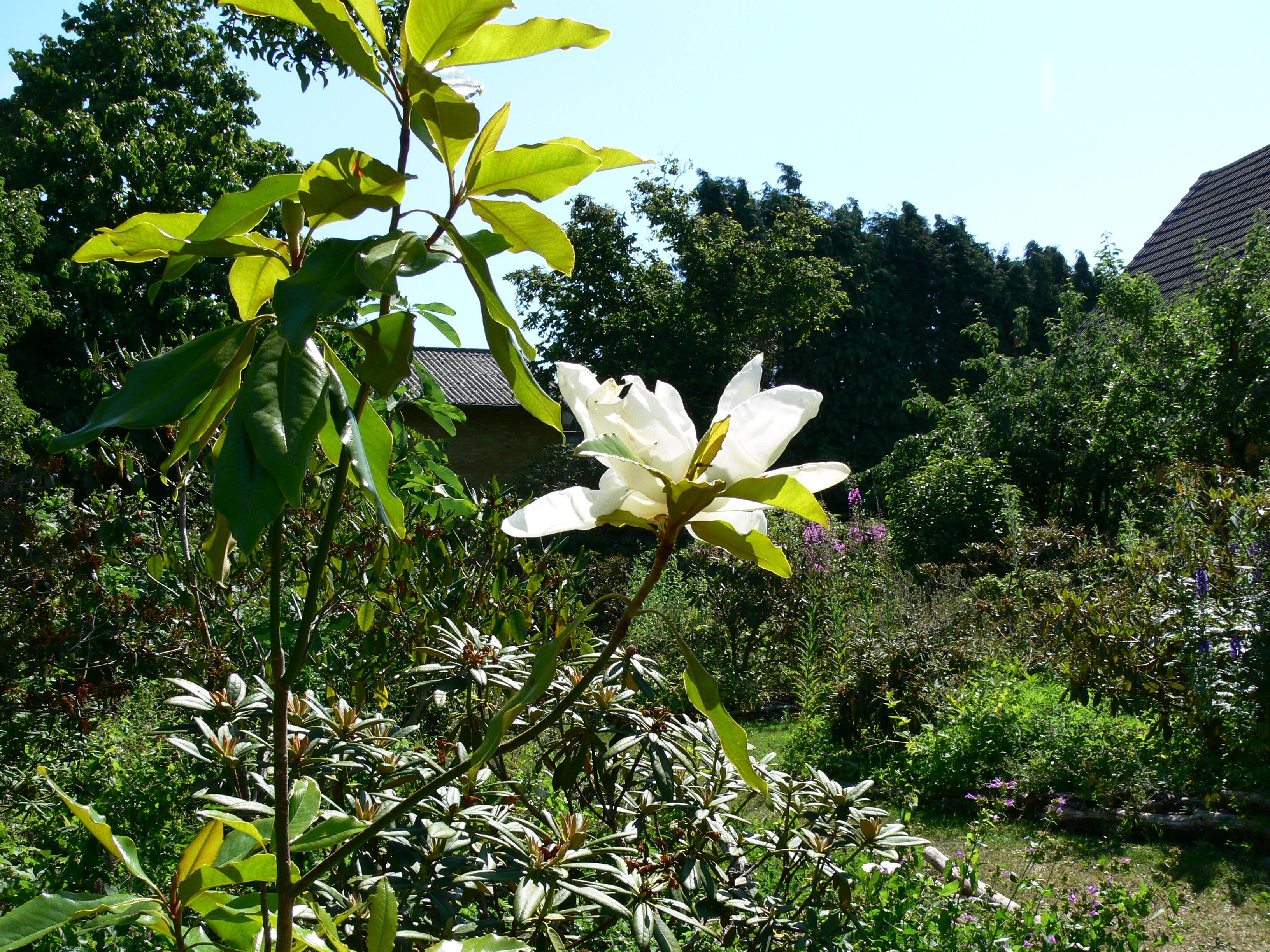 Magnolia grandiflora 39 monland 39 syn 39 timeless beauty 39 - Magnolia grandiflora ...
