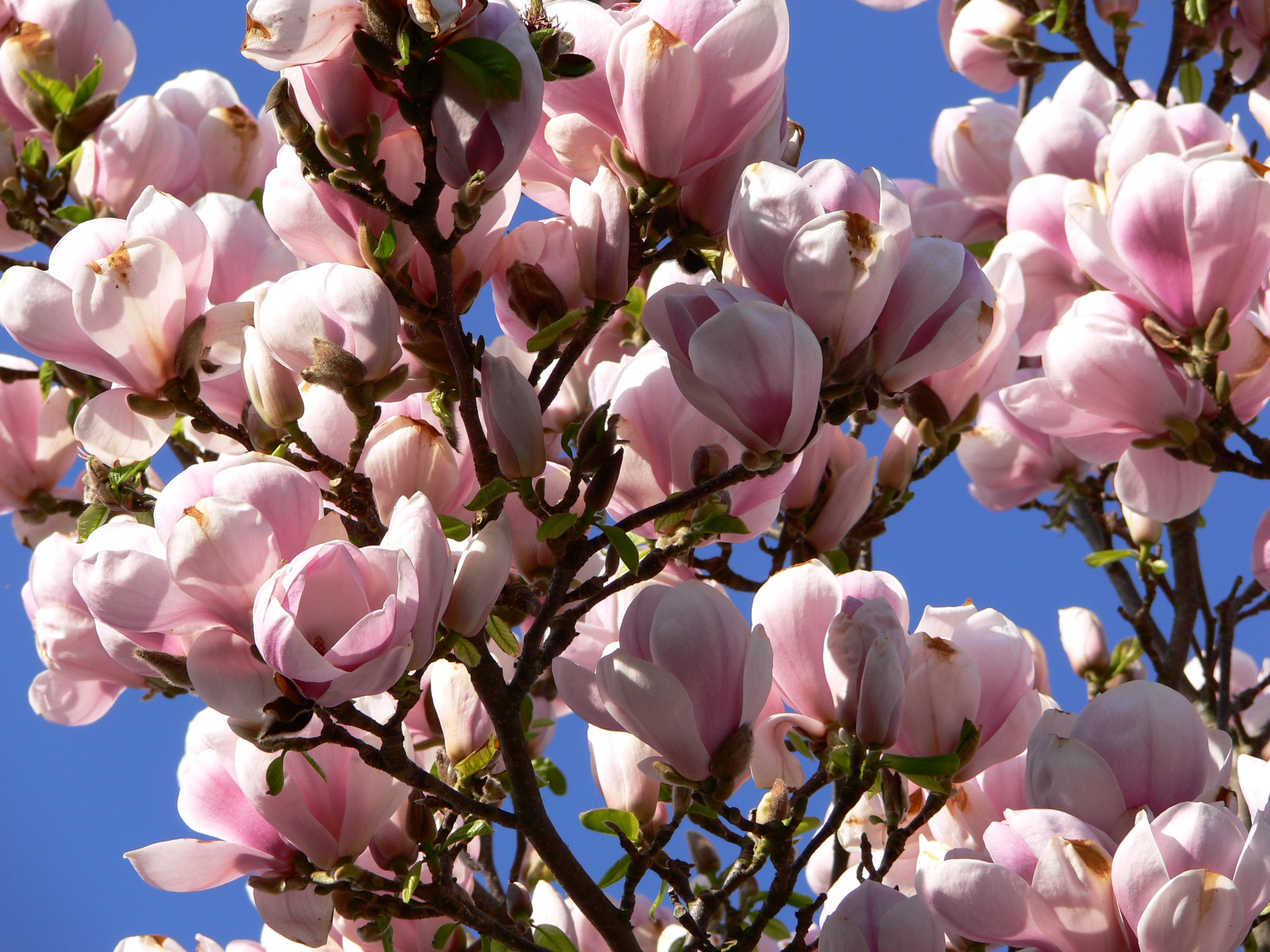 magnolia x soulangeana 39 san jose 39. Black Bedroom Furniture Sets. Home Design Ideas