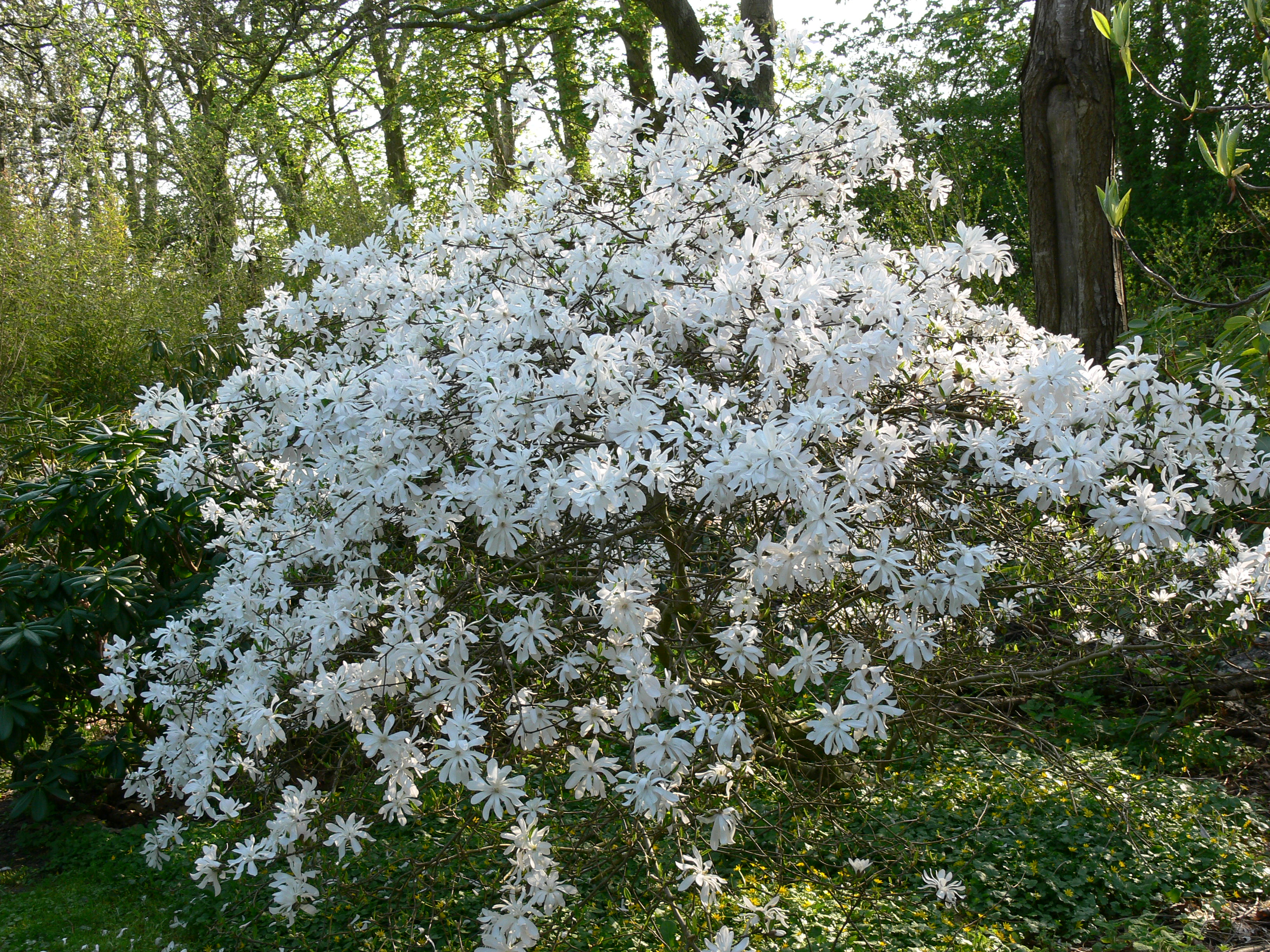 magnolia stellata 39 water lily 39. Black Bedroom Furniture Sets. Home Design Ideas